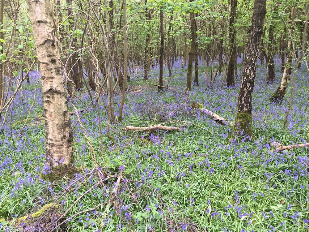 Uffmoor Wood, Clent Bluebells