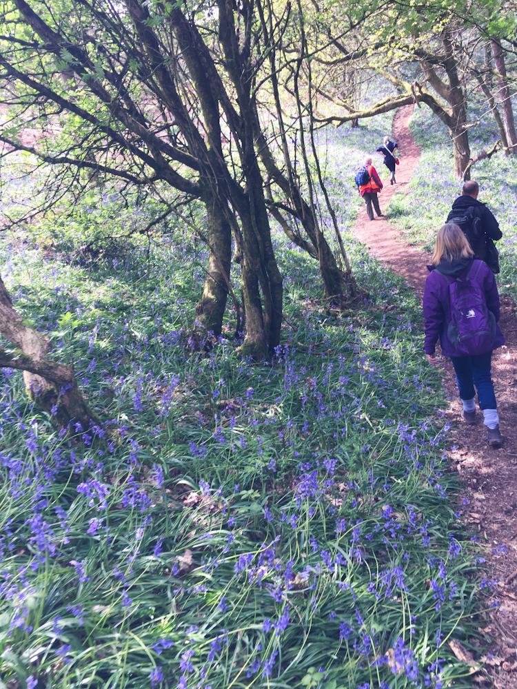 Clent bluebell walk
