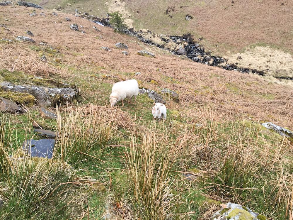 Lambing season on Cader Idris.
